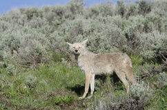 Coyotes in Yellowstone Royalty Free Stock Photos