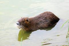 Coypu в воде Стоковое Фото