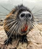 coypu photos stock