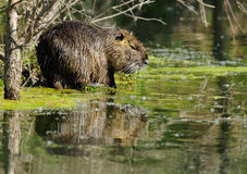 Coypu Royalty Free Stock Photo