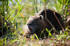 Coypu Royalty Free Stock Image