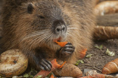 Coypu. The coypu, also known as the river rat, and nutria,is a large, herbivorous Stock Image