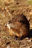 Coypu adult Royalty Free Stock Image