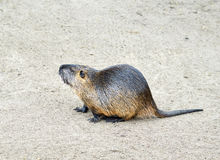 Coypu, also known as the nutria Royalty Free Stock Images