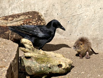Coypu baby and crow Stock Photo