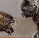 Coypu black and gray kitten looking at each other Royalty Free Stock Photography