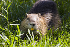 Coypu in Camargue Royalty Free Stock Photo