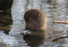 Coypu cleaning Royalty Free Stock Image