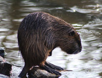 Coypu cleaning Royalty Free Stock Photography