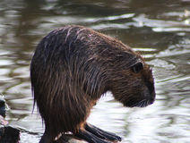 Coypu cleaning Stock Images