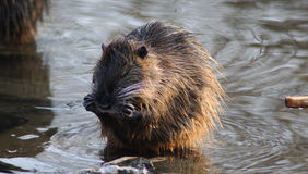 Coypu cleaning Stock Photography