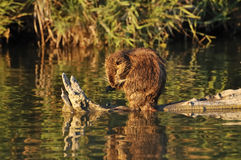 Coypu cleaning its forepaw Royalty Free Stock Photos