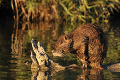 Coypu cleaning its fur royalty free stock image