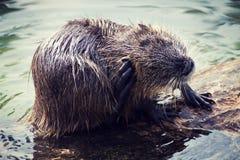 Coypu conocido también como nutria después de una nadada en el lago Fotografía de archivo