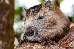 Coypu (coypus del Myocastor), también conocido como la rata o el nutria del río Fotografía de archivo