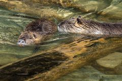Coypu, coypus do Myocastor, igualmente conhecidos como o rato ou o nutria do rio imagens de stock royalty free
