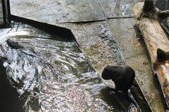Coypu (coypus do Myocastor) ou nutria Foto de Stock Royalty Free