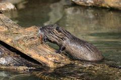 Coypu, coypus Myocastor, επίσης γνωστό ως αρουραίο ή nutria ποταμών στοκ φωτογραφίες