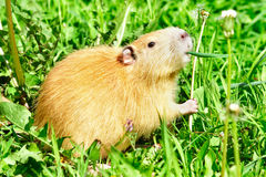 Coypu eating dandelions Royalty Free Stock Photos