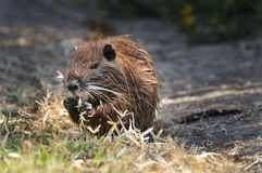 Coypu eating grasses Royalty Free Stock Photo