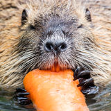 Coypu is eating Stock Images