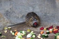 Coypu that eats vegetables Royalty Free Stock Image