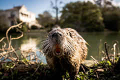 Coypu in einem Park Stockfoto