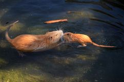 Coypu familyin the water. Coypu mother care of her baby in the water royalty free stock photography