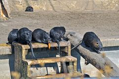 Coypu family Royalty Free Stock Photo