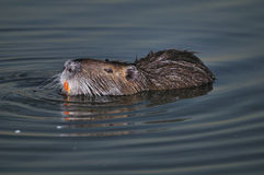 Coypu floating Royalty Free Stock Image