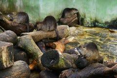 Coypu (floden tjaller), royaltyfri fotografi
