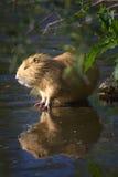 Coypu, Fluss-Ratte Stockbilder