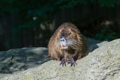 The coypu(lat. Myocastor coypus), also known as the nutria. River, rat, animal, rodent, fur, water, wild, wildlife, nature, brown, animals, mammal royalty free stock images