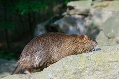 The coypu(lat. Myocastor coypus), also known as the nutria. River, rat, animal, rodent, fur, water, wild, wildlife, nature, brown, animals, mammal stock images