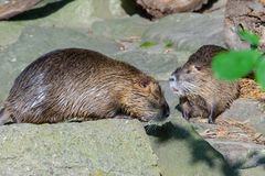 The coypu(lat. Myocastor coypus), also known as the nutria. River, rat, animal, rodent, fur, water, wild, wildlife, nature, brown, animals, mammal royalty free stock image