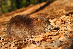 Coypu in leaves Stock Photography