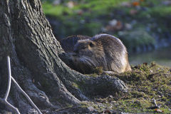 Coypu (Myocastor coypus) Royalty Free Stock Photo