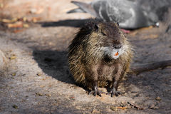 Coypu (Myocastor coypus) Royalty Free Stock Photos