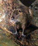 Coypu, Myocastor-coypus, als rivierrat of nutria die ook wordt bekend stock foto's