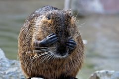 Coypu, Myocastor coypus, also known as river rat or nutria. Is a large, herbivorous, semiaquatic rodent and only member of family Myocastoridae royalty free stock image