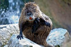 Coypu, Myocastor coypus, also known as river rat or nutria. Is a large, herbivorous, semiaquatic rodent and only member of family Myocastoridae stock photo