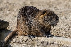 Coypu, Myocastor coypus, also known as river rat or nutria. Is a large, herbivorous, semiaquatic rodent and only member of family Myocastoridae royalty free stock images