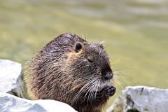 Coypu, Myocastor coypus, also known as river rat or nutria. Is a large, herbivorous, semiaquatic rodent and only member of family Myocastoridae stock photos