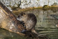 Coypu, Myocastor coypus, also known as river rat or nutria. Is a large, herbivorous, semiaquatic rodent and only member of family Myocastoridae royalty free stock photography