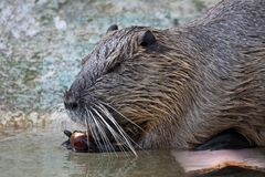 Coypu, Myocastor coypus, also known as river rat or nutria royalty free stock photo