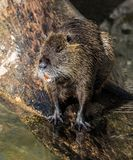 Coypu, Myocastor coypus, also known as river rat or nutria stock photos