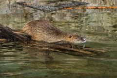 Coypu, Myocastor coypus, also known as river rat or nutria. Is a large, herbivorous, semiaquatic rodent and only member of family Myocastoridae royalty free stock photo
