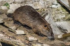 Coypu, Myocastor coypus, also known as river rat or nutria. Is a large, herbivorous, semiaquatic rodent and only member of family Myocastoridae royalty free stock photos