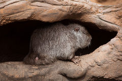 Coypu (Myocastor coypus), also known as the river rat or nutria. Wild life animal royalty free stock images