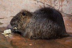 Coypu (Myocastor coypus), also known as the river rat or nutria. Wild life animal stock images